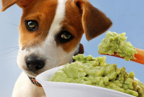 Food Your Dog Should Never Eat- Avocado