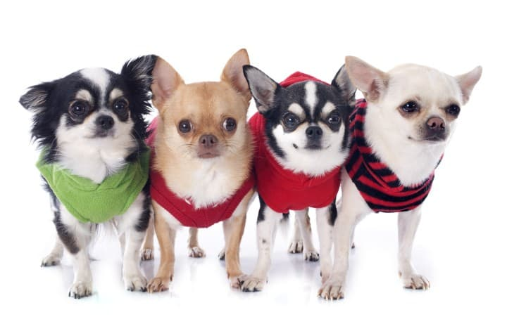 chihuahua-dog-behaviors