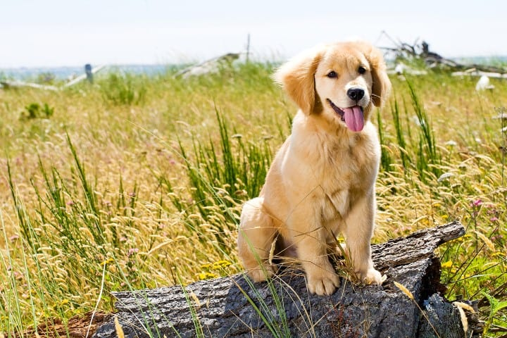 golden-retriever-dog-behaviors