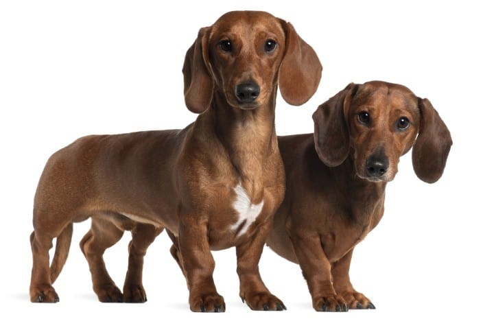 Image of: Cute Dog Behaviors 10 Sausage Dog Behaviors And Characteristics
