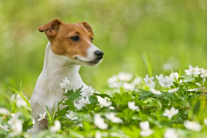 Things To Do In Case Of Hair Loss In jack Russell Dogs?