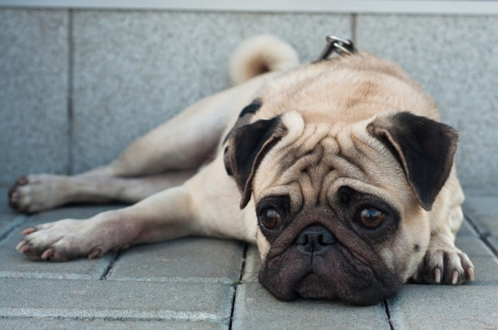 dog-behaviors-after-losing-another-dog