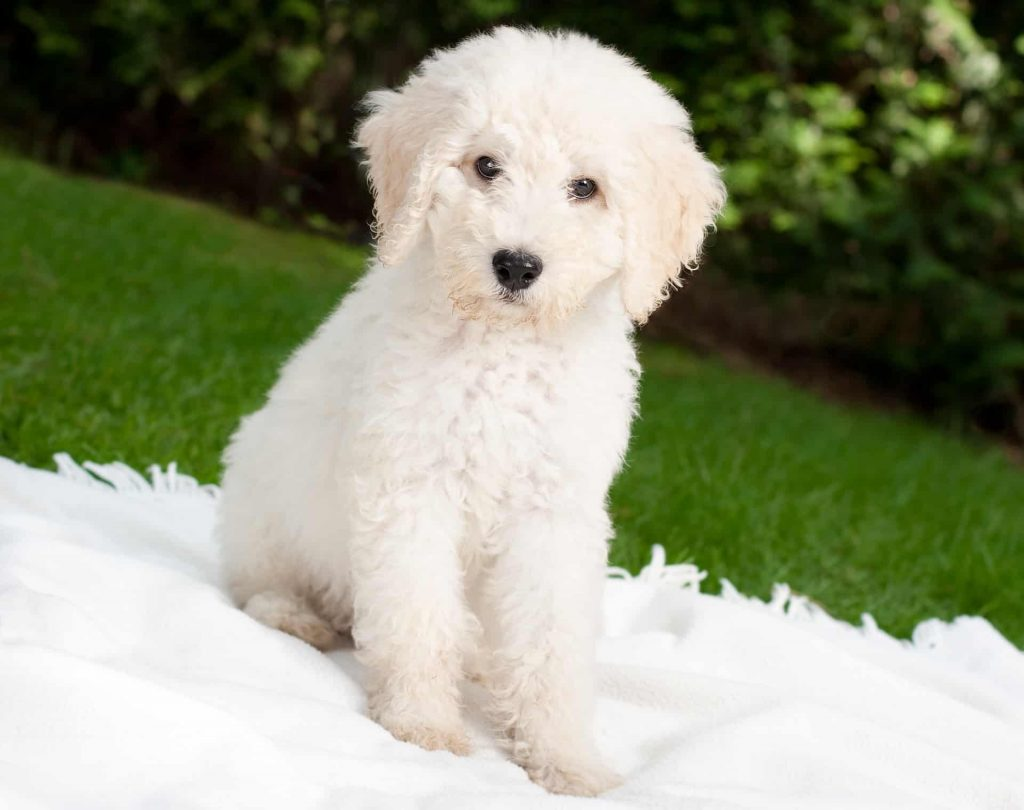 Personality And Temperament Of The Labradoodles - taking a break