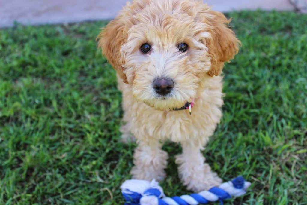 Personality and Temperament of the Labradoodles - Playing with a rope