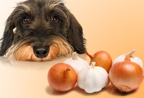 Food Your Dog Should Never Eat - Garlic and Onions