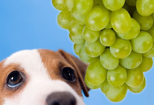 Food Your Dog Should Never Eat - Grapes and Raisins