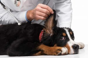 Dog Behaviors - Benefits of Yogurt for Dogs with Ear Infection