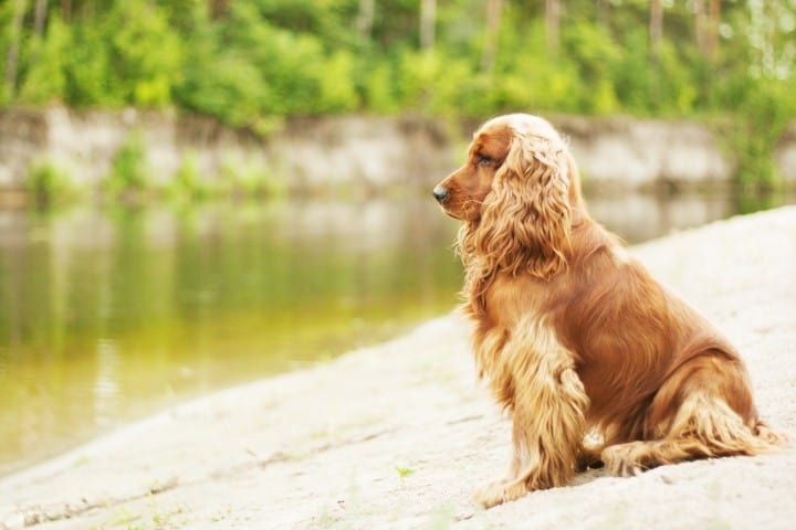 english-cocker-spaniel-behaviors