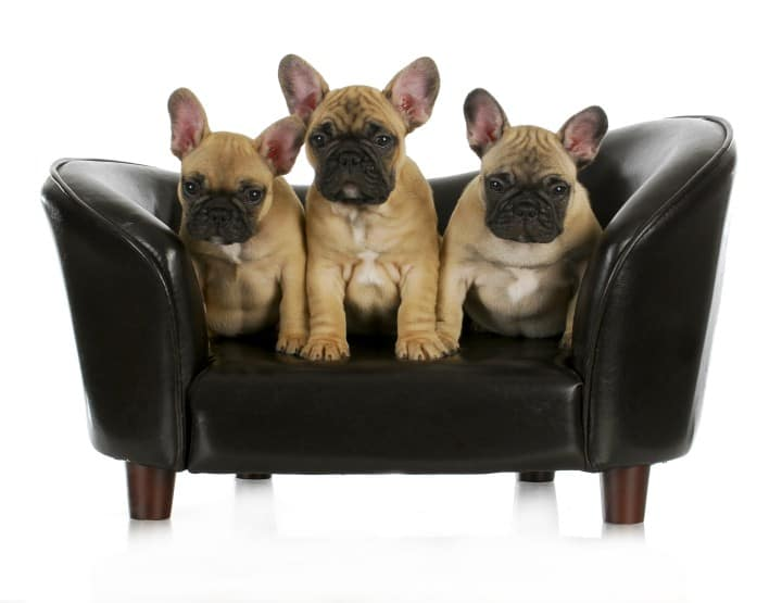 french-bulldog-behaviors