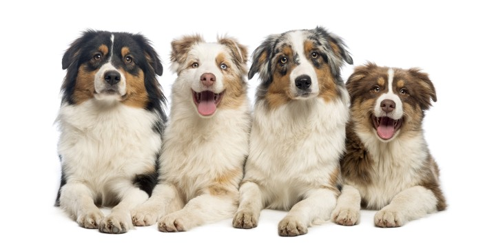 australian-shepherd-dog-behaviors