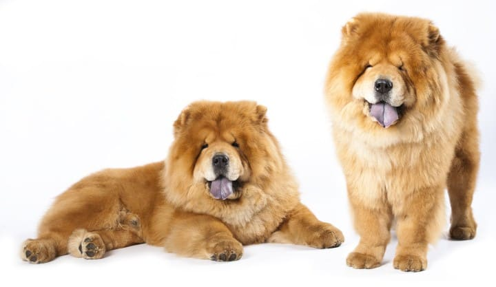 chow-chow-dog-behaviors