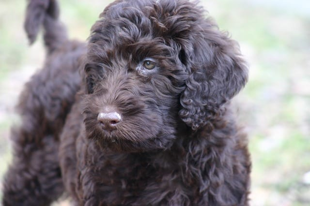 How is the Personality and Temperament of the Labradoodles