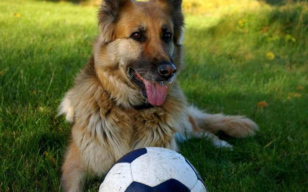 Behaviors of the German Shepherd dogs