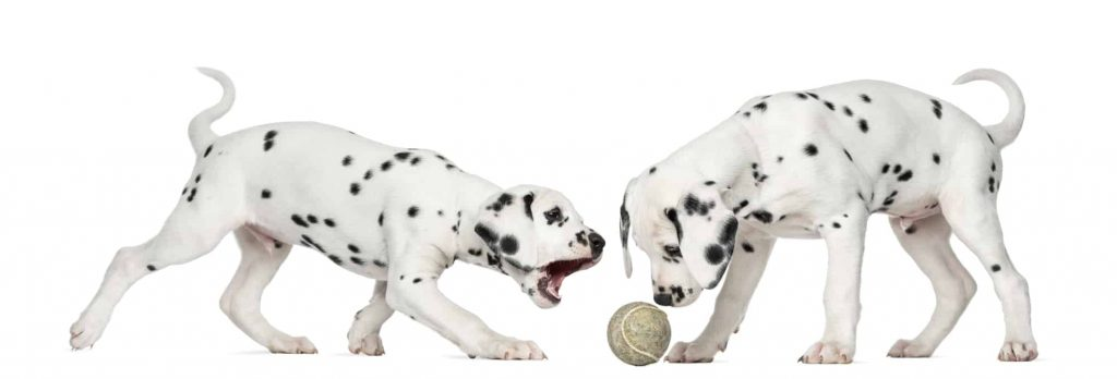 Dalmatians Playing and Barking