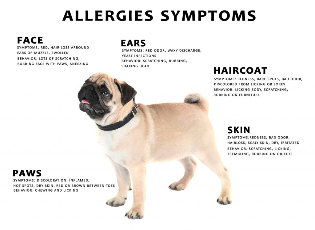 Common Dog Allergies Symptoms