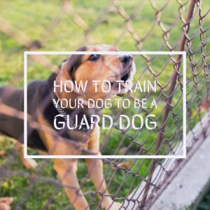 training your dog to be a guard dog