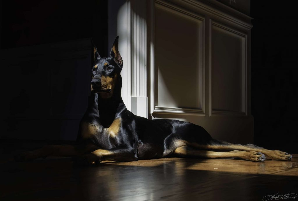 Doberman Relaxing