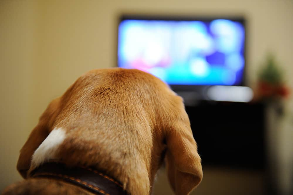 Dog Watching the TV